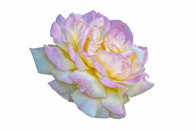 白色和桃红色玫瑰色特写镜头 免版税库存照片