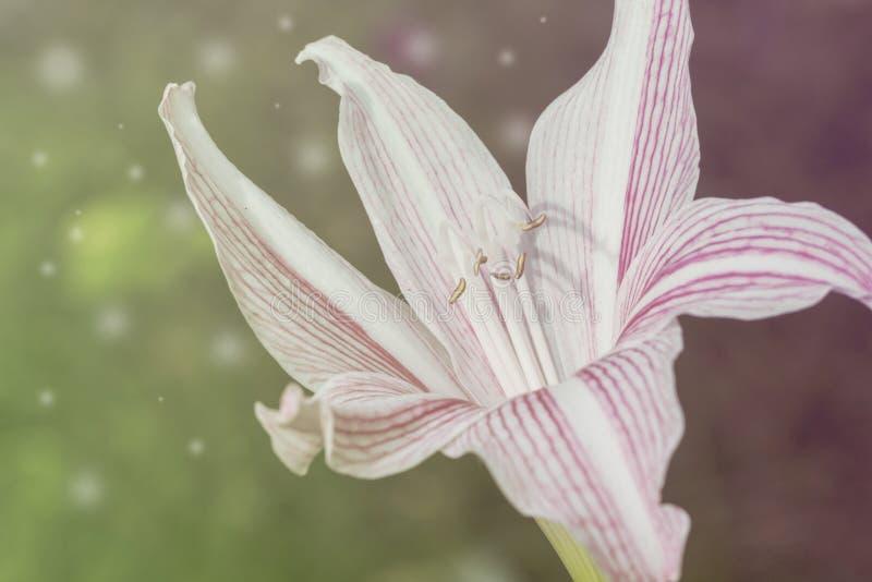 白色和桃红色百合定了调子与火光的照片 新鲜的百合花在阳光下 免版税库存照片