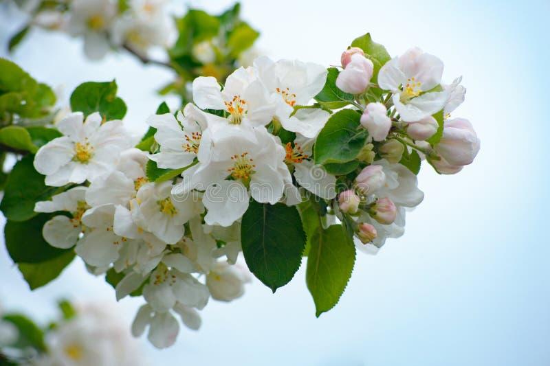 白色和桃红色苹果树开花在天空背景中 库存图片