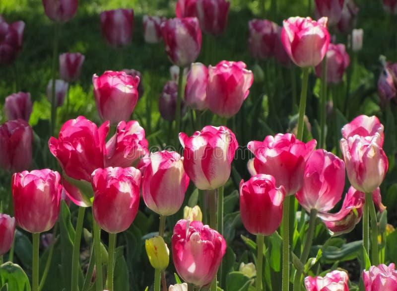 白色和桃红色郁金香群 库存图片