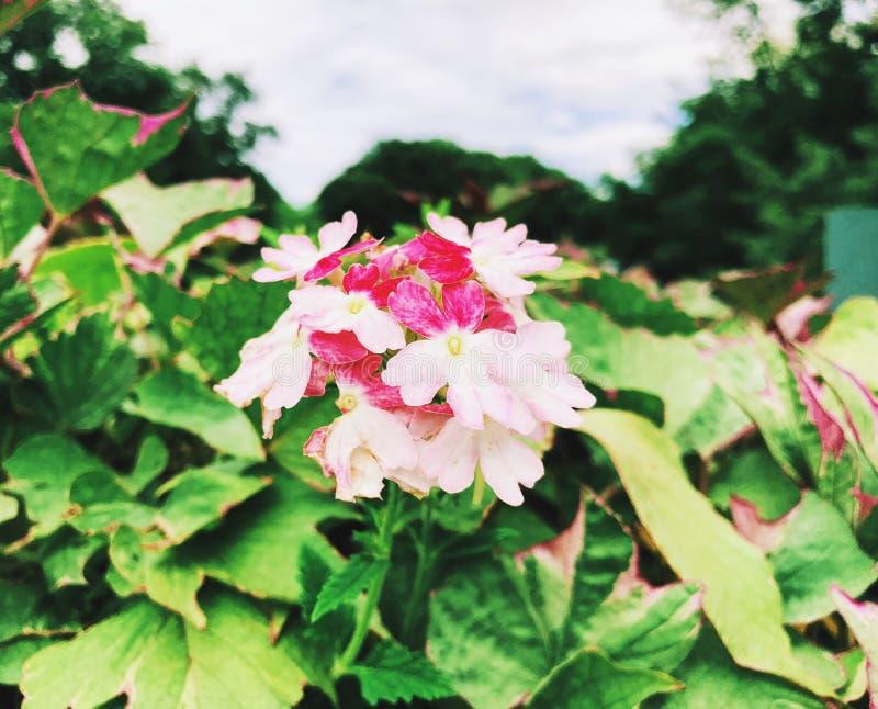 白色和桃红色马鞭草属植物hybrida花开花的领域 免版税库存照片