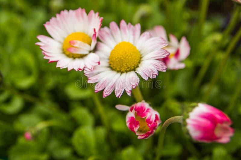 白色和桃红色延命菊花 库存图片