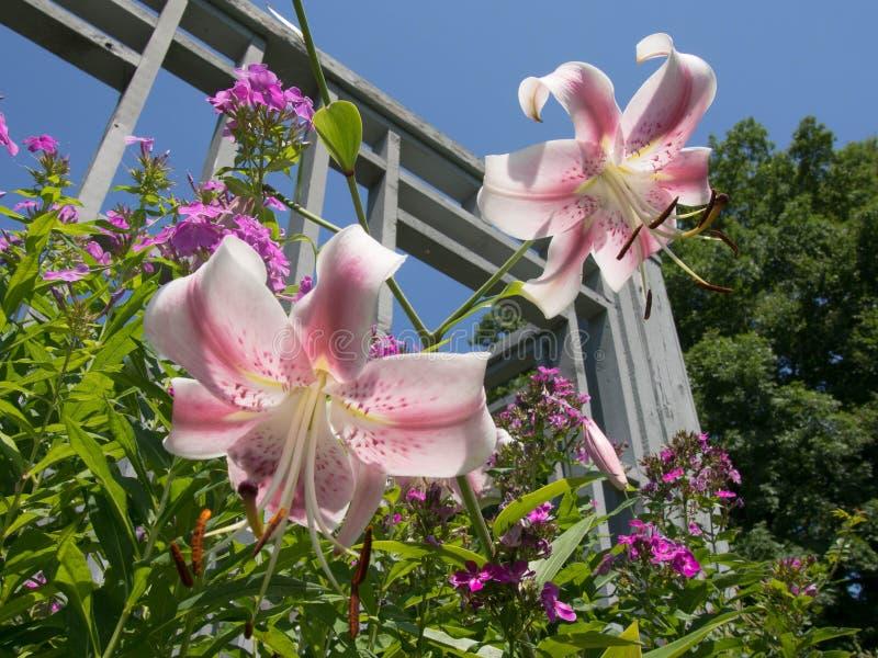 白色和桃红色Lillies 免版税图库摄影
