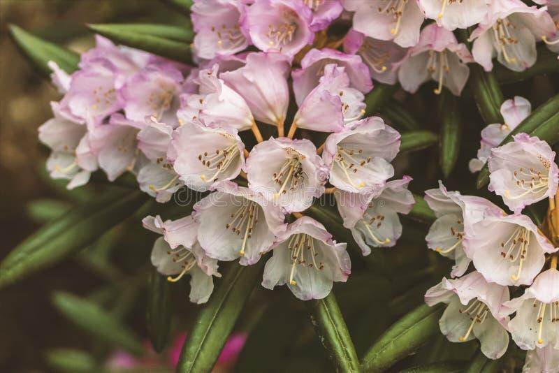 白色和桃红色Rhodedendron花 免版税库存图片