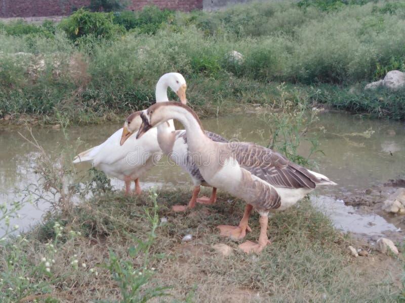 白色和棕色鸭子 免版税库存图片