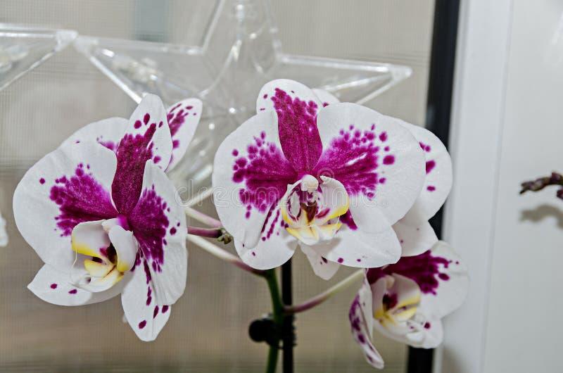 白色和淡紫色兰花分支phal花,关闭,窗口背景 免版税图库摄影