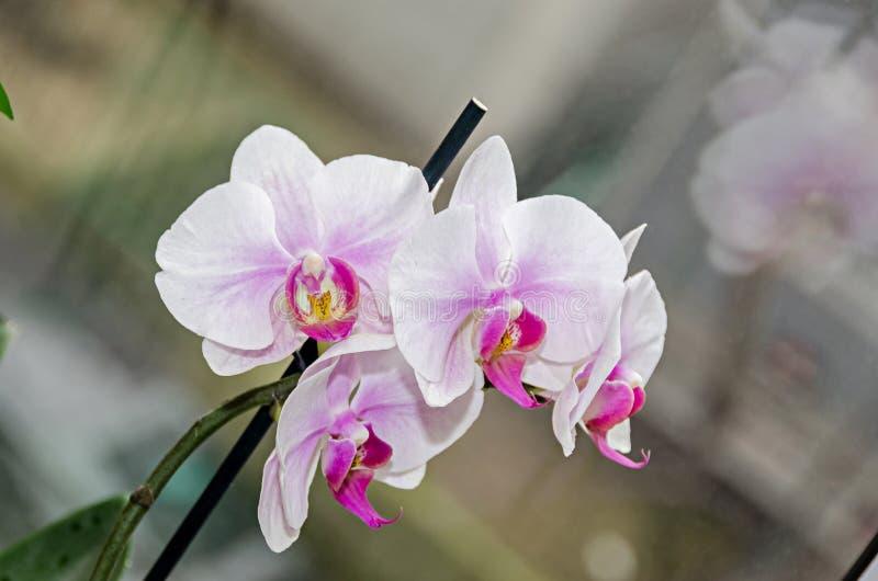白色和淡紫色兰花分支phal花,关闭,窗口背景 免版税库存照片