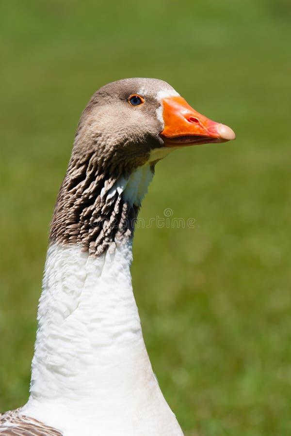 白色和灰色与橙色额嘴的鹅接近的画象,隔绝在绿草背景在焦点外面 免版税图库摄影