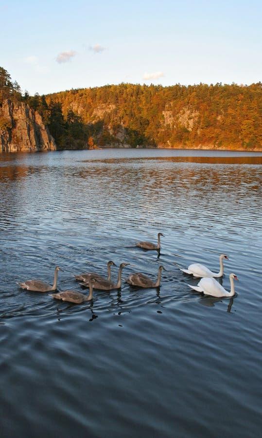 白色和灰色天鹅群沿秋天池塘游泳 图库摄影