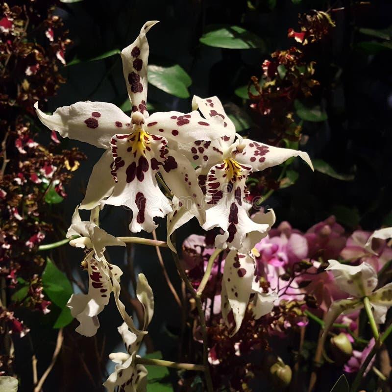 白色和紫色有斑点的兰花 免版税库存照片