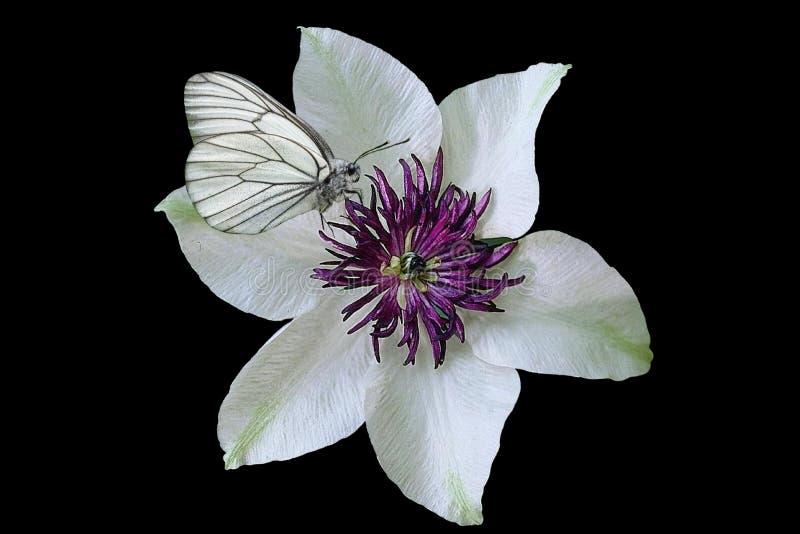 白色和紫色花在黑背景中 库存图片