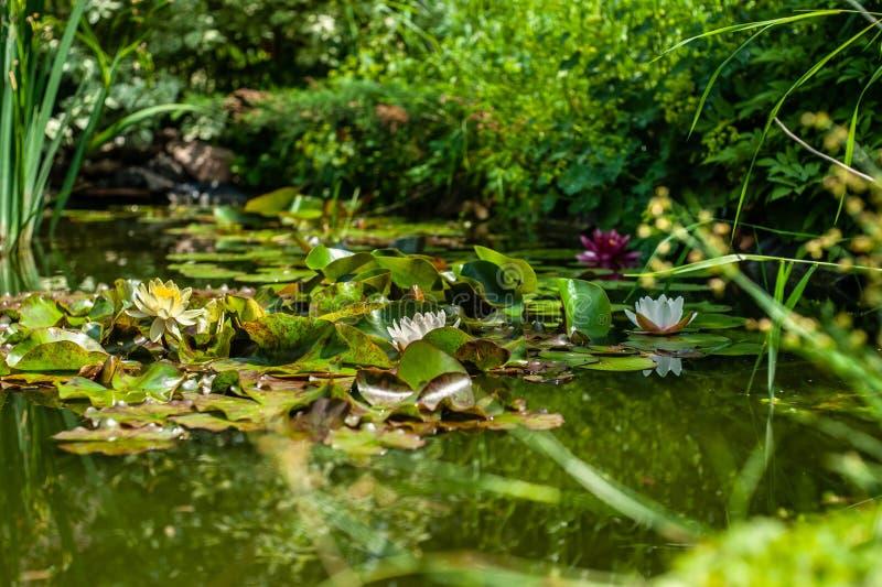 白色和红色星莲属或waterlily花和绿色叶子在庭院池塘关闭中水  免版税库存照片