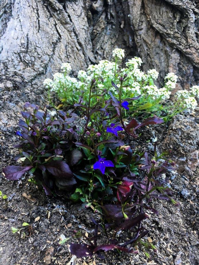 白色和蓝色花灌木 免版税图库摄影