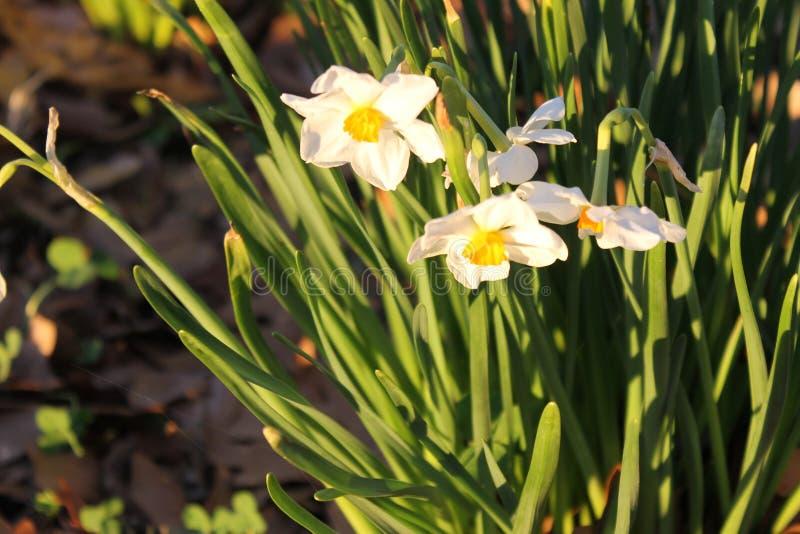 白色和黄色花和美丽的庭院 库存照片