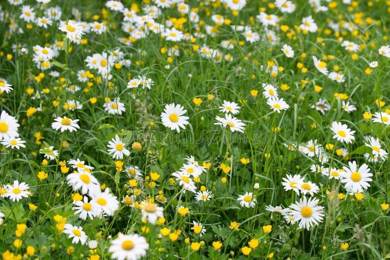 白色和黄色花在草甸 免版税库存照片