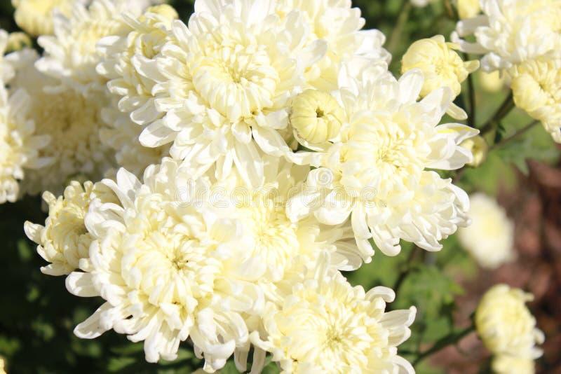白色和黄色花特写镜头 库存照片