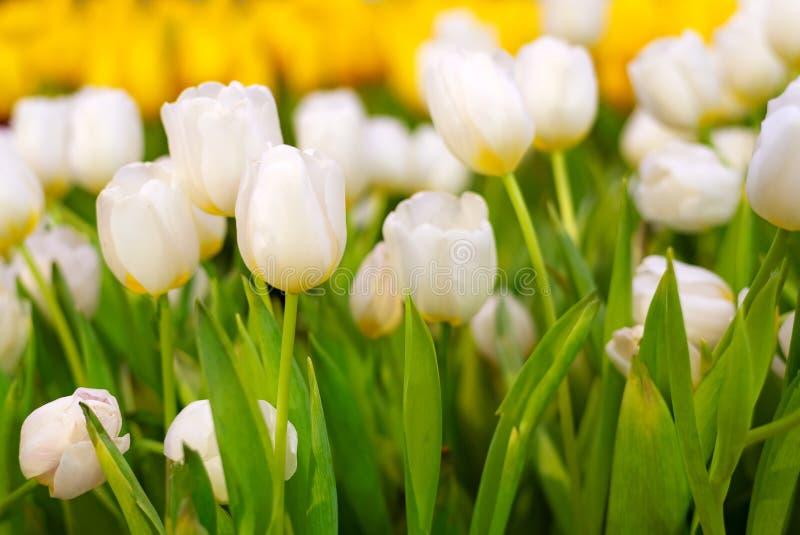 白色和黄色郁金香花在庭院里 美丽的花束郁金香在春天a 免版税库存照片