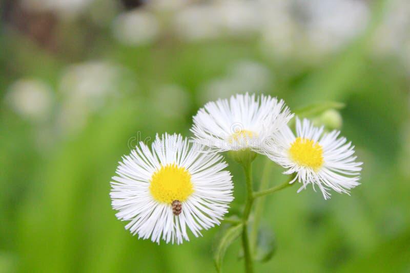 白色和黄色野花 免版税库存照片