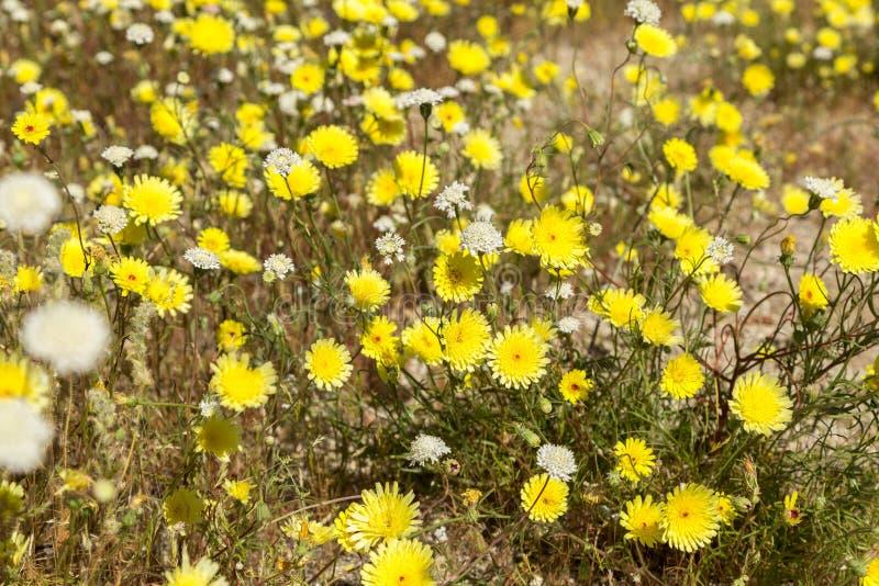 白色和黄色野花 免版税图库摄影