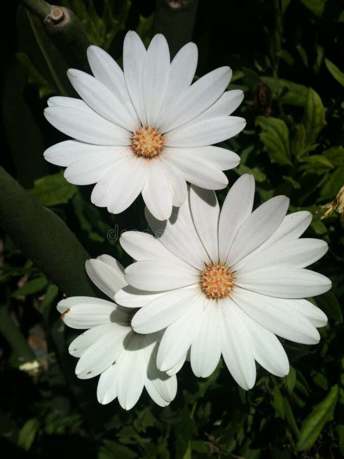 白色和黄色Osteospermum 免版税库存图片