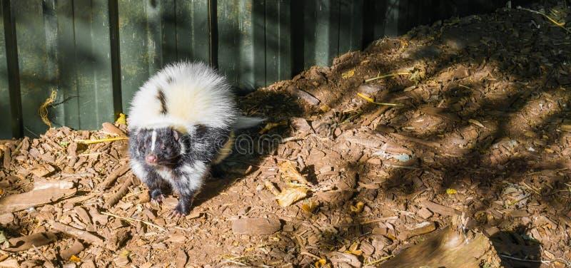 白色和黑共同的臭鼬身分和嗅往照相机从加拿大的一个野生有臭味的动物 免版税库存图片
