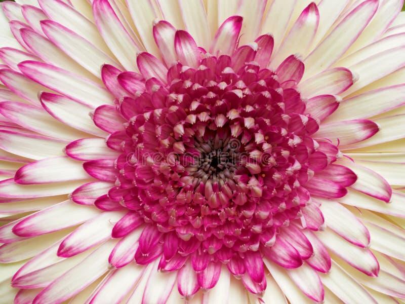 白色和紫罗兰色gerber雏菊 库存照片