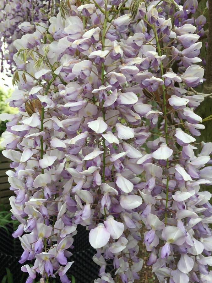 白色和紫色紫藤花 库存图片