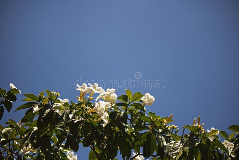 白色喇叭塑造了花反对天空蔚蓝 免版税库存图片