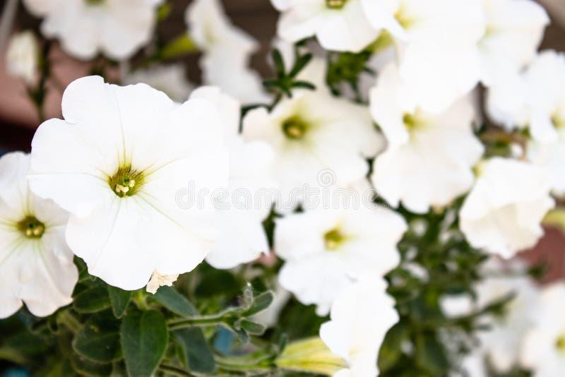 白色喇叭花花在庭院里 免版税库存照片