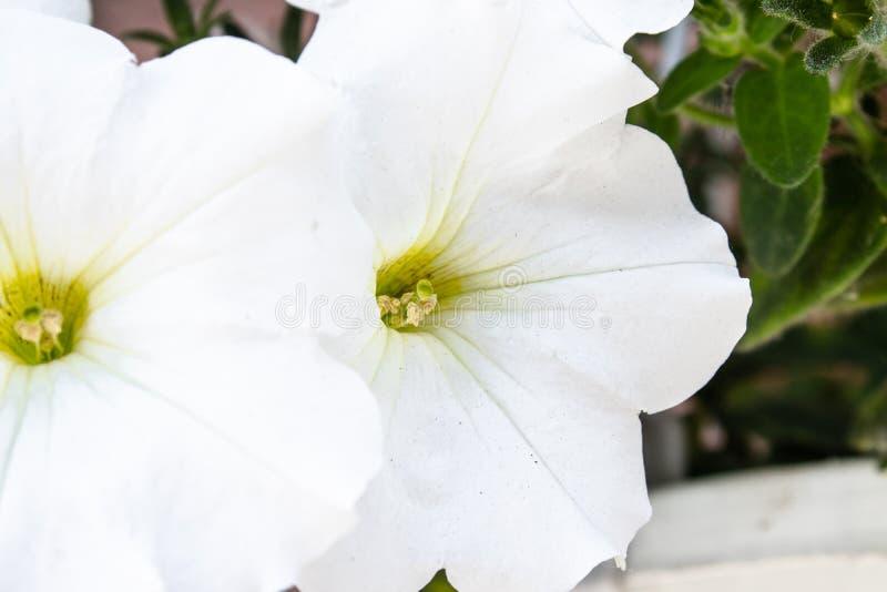 白色喇叭花花在庭院里 库存照片