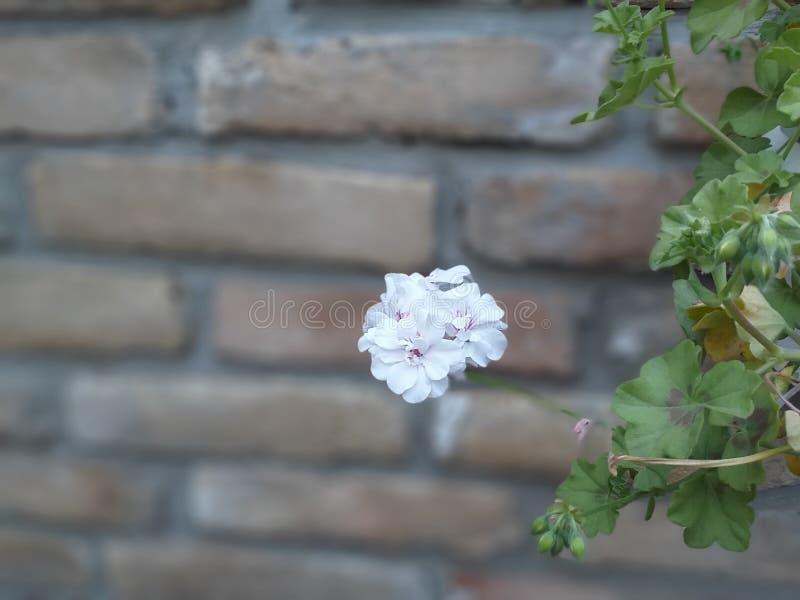 白色喇叭花,花 库存照片