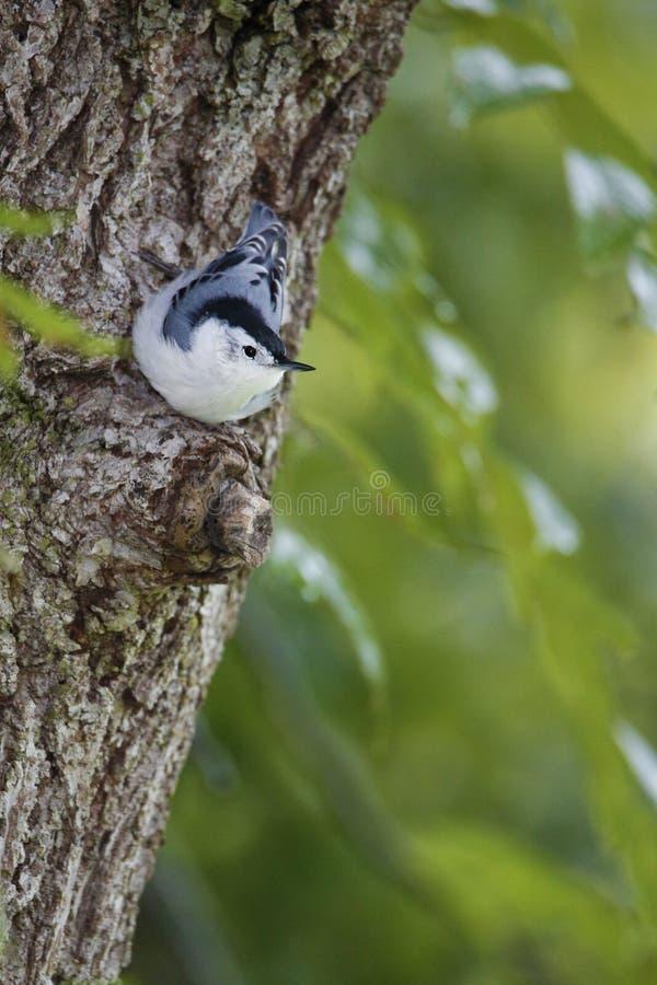 白色在一个雨天breasted五子雀紧贴对树干的五子雀类carolinensis在一个饲养者驻地附近 库存照片