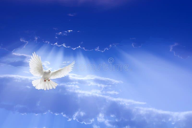 白色在天空的鸠飞行 库存照片