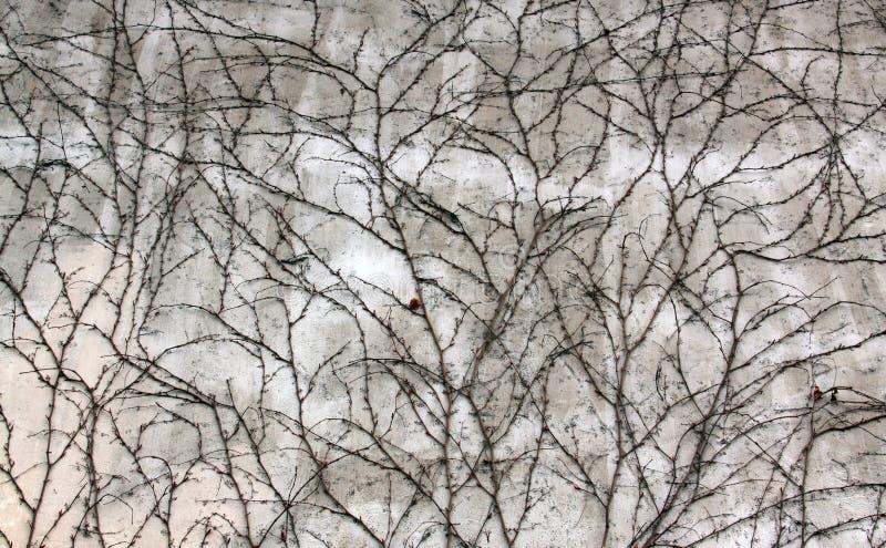 白色在早期的春天困厄了在常春藤盖的墙壁 库存图片