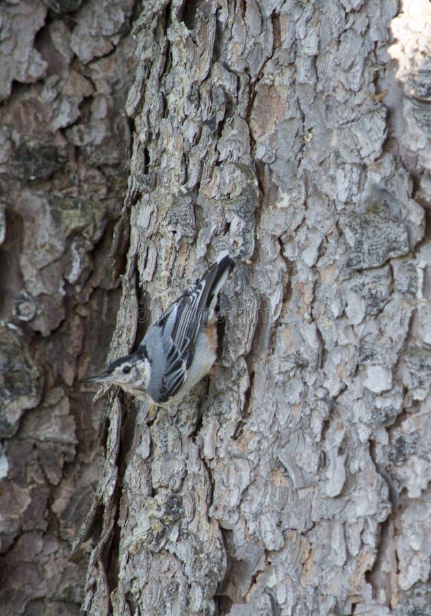 白色在杉树的breasted五子雀 库存图片
