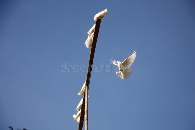 白色在蓝天的鸠飞行 回到家到小组鸠 免版税库存照片