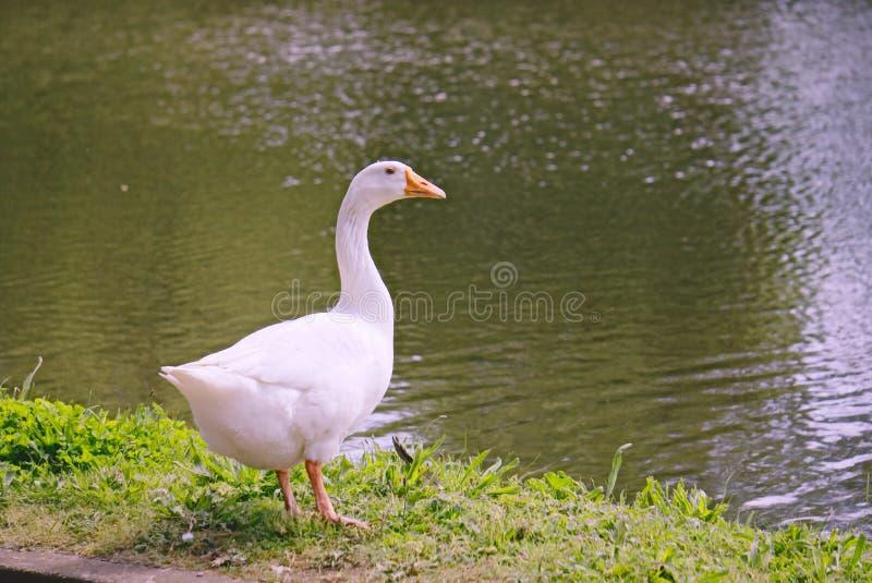 白色埃姆登鹅 免版税库存图片
