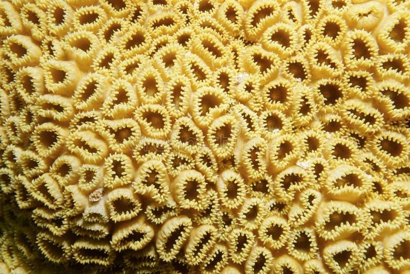白色复的zoanthid Palythoa caribaeorum 免版税库存图片