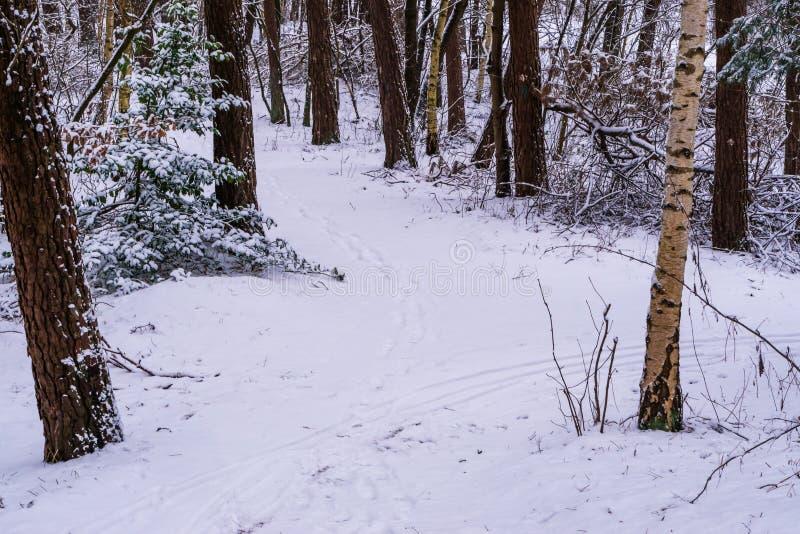 白色多雪的森林道路、在白雪和树盖的森林冬天季节的,路,荷兰森林风景风景 库存照片