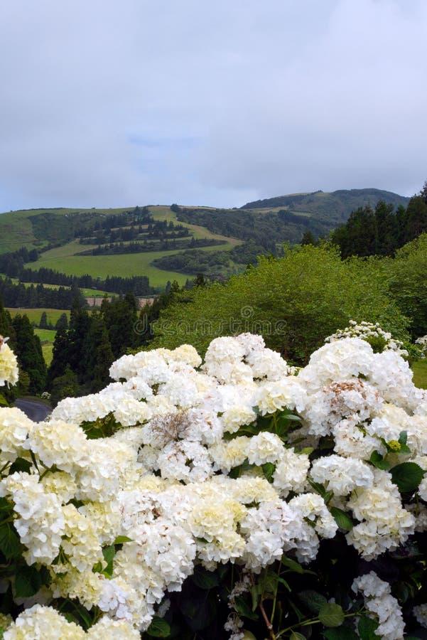 白色大八仙花属拉丁八仙花属macrophylla巨大的开花  免版税库存照片