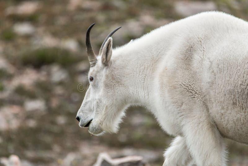白色大垫铁绵羊-落矶山脉山羊 库存图片