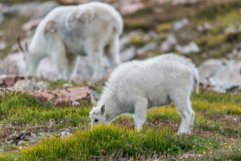 白色大垫铁绵羊-落矶山脉山羊 免版税库存图片