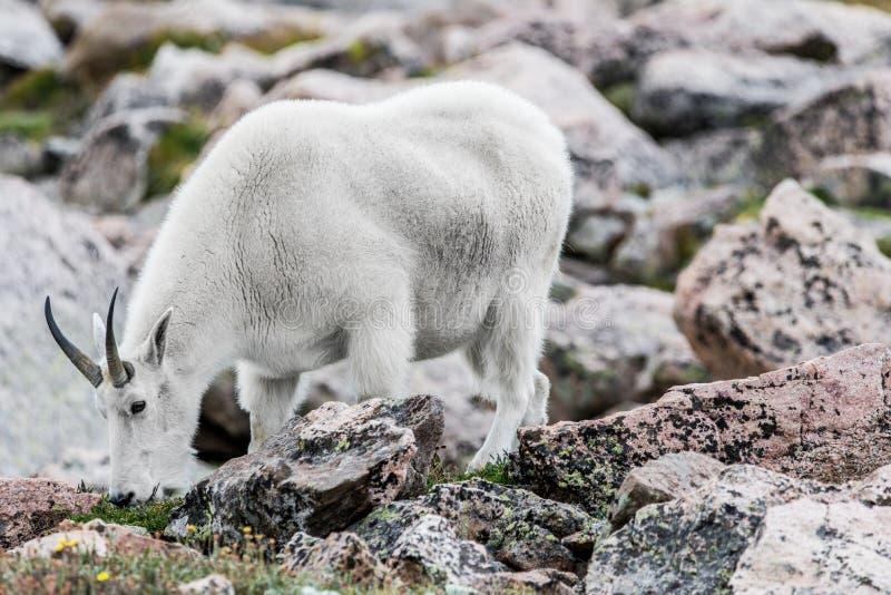 白色大垫铁绵羊-落矶山脉山羊 免版税图库摄影