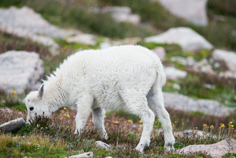 白色大垫铁绵羊-落矶山脉山羊 库存照片