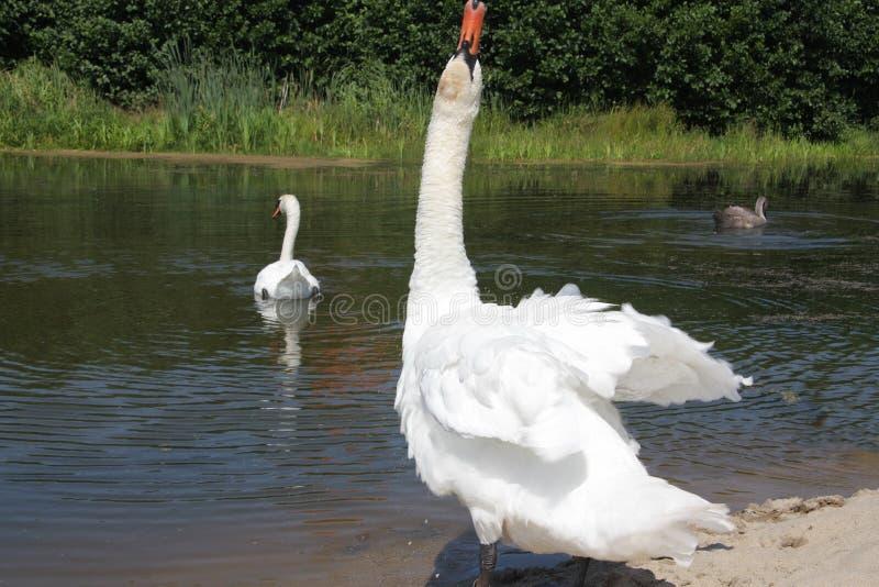 白色天鹅危险向他的家庭报告 免版税库存照片