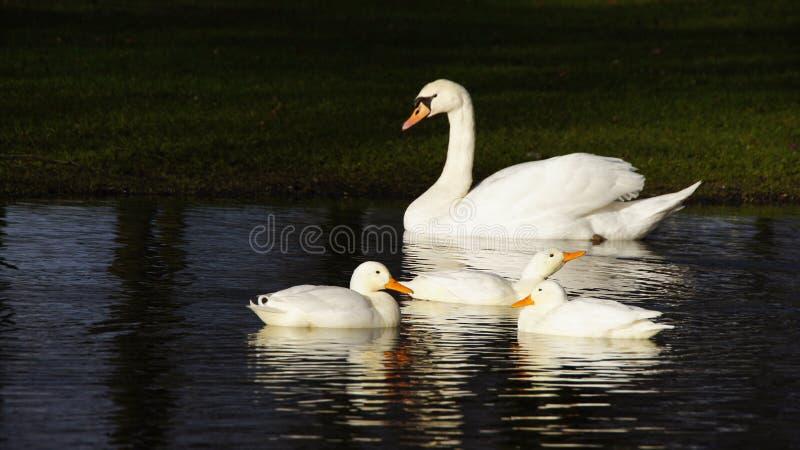 白色天鹅和三只白色鸭子 库存照片