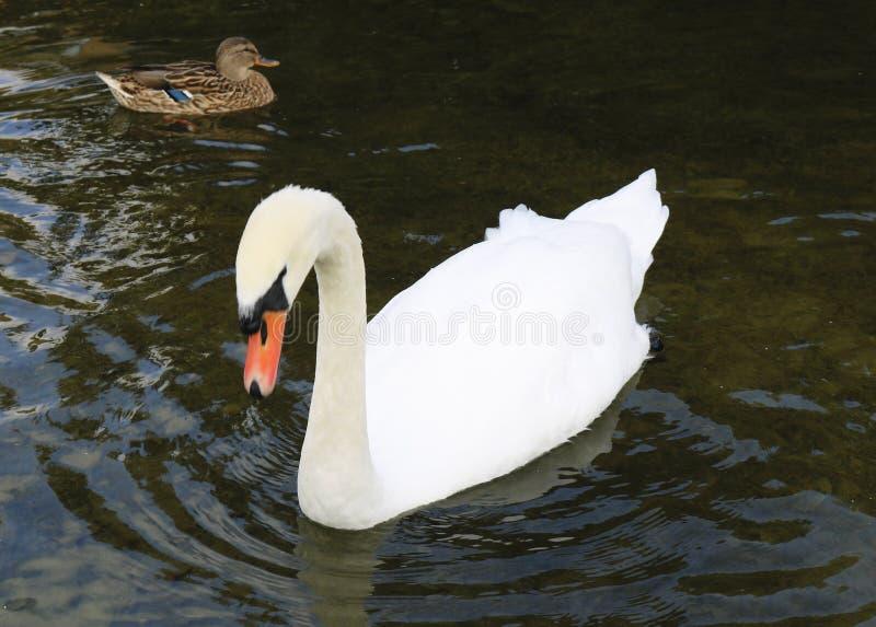 白色天鹅和野鸭鸭子 免版税库存图片