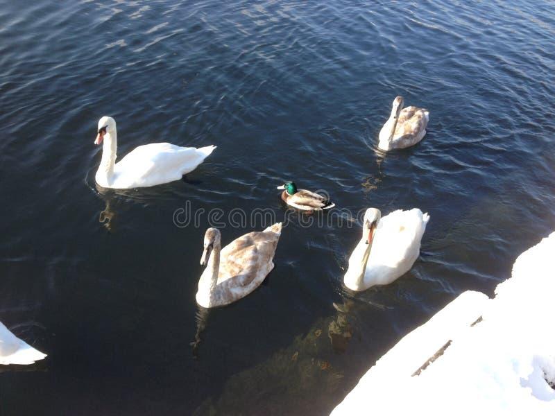 白色天鹅和鸭子 库存图片