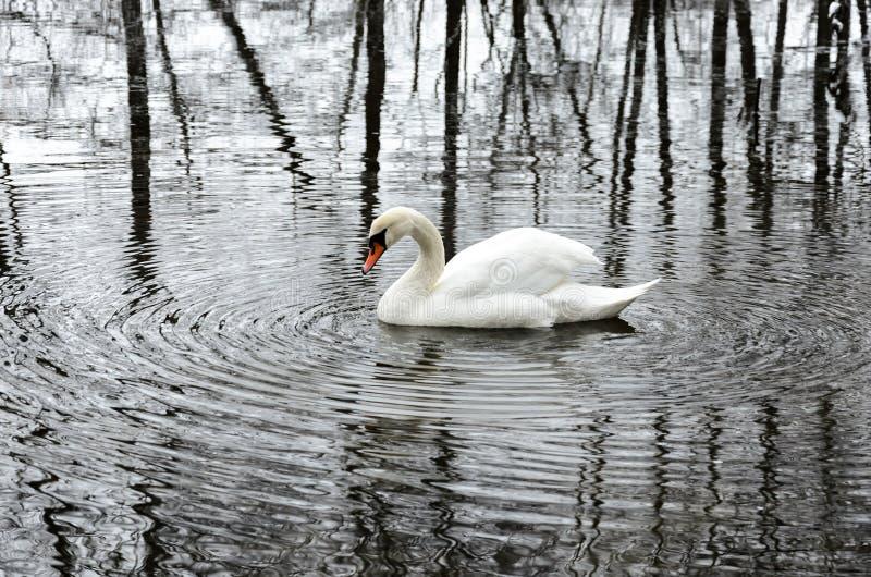 白色天鹅在孑然居住在冬天公园 图库摄影