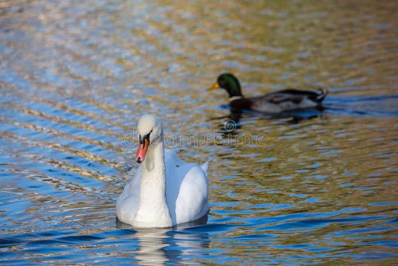 白色天鹅在湖或在池塘 被弄脏的背景 鸭子在背景中 库存图片